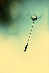 [フリー画像] 花・植物, キク科, タンポポ, 種子, 雫・水滴, 201006130700