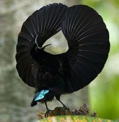 A Riflebird shows off