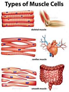 Buy Diagram Showing Types Of Muscle Cells by BlueRingMedia on GraphicRiver. Diagram showing types of muscle cells illustration Human Body Anatomy, Human Anatomy And Physiology, Muscle Anatomy, Muscle Diagram, Types Of Muscles, Biology Lessons, Teaching Biology, Nursing School Notes, Medicine Student