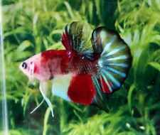 P130 Thai Import Koi Multicolor Marble HMPK Halfmoon Plakat Male Betta Live Fish