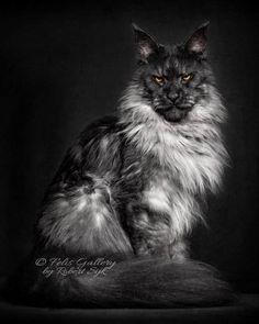 41 Stunning Pictures Of The Maine Coon, One Of The World's Largest Cats Pretty Cats, Beautiful Cats, Animals Beautiful, Cute Cats, Cute Animals, Warrior Cats, Long Cat, Exotic Cats, Exotic Fish