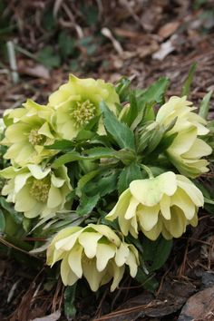 Helleborus hybridus PDN Double Yellow 2 QT