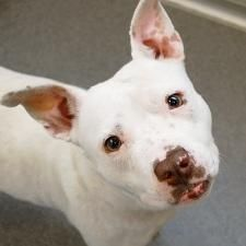 Dolly is an adoptable Pit Bull Terrier Dog in Des Moines, IA. Currently located at ARL Main Dolly is a lively, enthusiastic 2-year-old who will bring joy to your home! She is tons of fun and has plent...