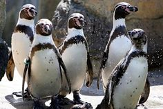 The zoological garden is considered one of the best in the country for its naturalistic environments. Woodland Park Zoo, Zoological Garden, Penguin Love, Sea Creatures, Washington State, Penguins, Acre, Gardens, Country