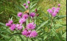 Ironweed MD extension