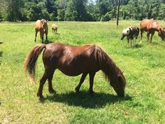 One of our minis is pregnant & ready to pop! Miniature Horses, Ready To Pop, Montgomery County, Grow Together, Minis, Fields, Animals, Animales, Animaux