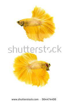 Gold betta fish, fighting fish, Siamese fighting fish isolated on white background