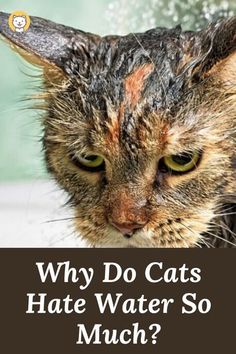 """The fear of water at cats seems to be a """"concept"""" too familiar to us. Nevertheless, why do cats hate water so much? Along with dogs, cats are one of the two friendliest pets to humans. They appear at almost places where humans appear in the world. However, in contrast to dogs, cats are the kind of animal that does not like showing too much sentiment, even to their bosses. Nevertheless, you will realize immediately if cats have to face dreadful things because of strong responses from this kind Siberian Cat Hypoallergenic, Information About Cats, Exotic Shorthair, American Shorthair, British Shorthair, Wild Animals Pictures, Kitten Care, Cat Behavior, All About Cats"""