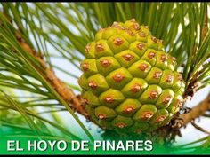 """""""El Piñón"""" reportaje en El Hoyo de Pinares"""