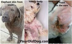 There are 4 vital steps to restore dog yeast infection to good health. We walk you through the process of naturally eliminating dog's bacterial skin problem. Fungal Infection Skin, Yeast Infection Home Remedy, Yeast Infection Causes, Rash On Dogs Belly, Yeast In Dogs, Recurring Yeast Infections, Candida Yeast, Old Dogs, Pets