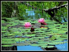 Pink Waterlilies at Reinstein Woods