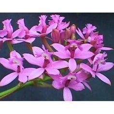 Esencia Orquídea Angel de la Vision