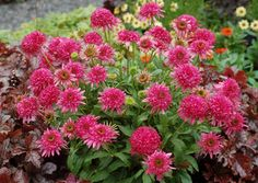 """Echinacea 'Cranberry Cupcake': Large, double, cranberry colored, 'Razzmatazz'-like flowers on a """"cupcake"""" of a plant. Short and wide and makes the perfect size garden plant. It is very free flowering. Great for containers."""