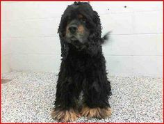 #FOUNDDOG 12-7-13 #SANBERNARDINO #CA ID: A4582391 4 YEAR OLD MALE #COCKERSPANIEL 333 CHANDLER PLACE 909-384-1304 https://www.facebook.com/EmeraldCityPetRescue.org/posts/10202974192696308
