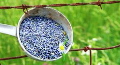 Lavender has a wonderfully relaxing effect on the mind and body and makes a good remedy for anxiety, nervousness, and physical symptoms caused by stress such as tension headaches, migraine, palpitations, and insomnia