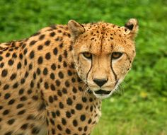 Cheetah | The cheetah (Acinonyx jubatus) is found mainly in southern and eastern ...