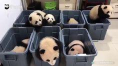 Non ne vogliono proprio sapere di andare a dormire i sette baby panda del China Conservation and Research Center for the Giant Panda, nel Sichuan....