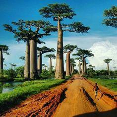 Баобаб - символ.острова Мадагаскар