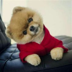 Find Out More On Cute Pomeranian Puppies Grooming Baby Animals Super Cute, Cute Baby Dogs, Cute Little Puppies, Cute Dogs And Puppies, Cute Little Animals, Little Dogs, I Love Dogs, Cute Babies, Adorable Dogs
