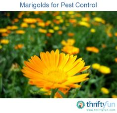 This is a guide about marigolds for pest control. Marigolds are often used as companion plants in gardens because of their reputation for deterring certain garden pests.