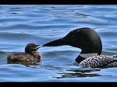 Common Loon Birdcalls  from YouTube. Their call is distinctive and soothing.