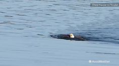 A bald eagle was seen swimming to the shore of Belcarra Bay, British Columbia. It may seem odd but it's not unheard of. If an eagle grabs a fish too large to fly away with and are unable to get air under their wings to ascend, they opt to swim to shore.