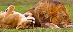 "** ""  De mane activity today be justs lion around."""