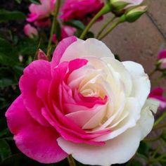 """Doble color rose I have a """"brilliant rose iceberg"""" which looks just like this. It has the pink flowers, the white flowers, and the 1/2 and 1/2"""