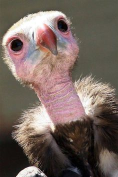 Baby Hooded Vulture