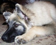 American Alsatian Calm Dog Dog Love, Puppy Love, American Alsatian, All Things Cute, Dog Breeds, Husky, Dog Cat, Creatures, Puppies