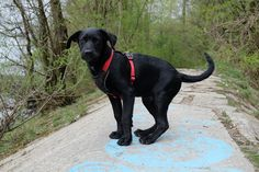 labrador house training..you need help read here https://labrador-life.com/house-training-a-labrador-puppy