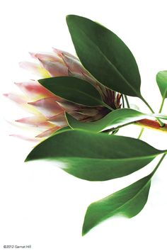 There's nothing quite as beautiful as a Protea Protea Flower, My Flower, Flower Power, Lotus Flower, Trees To Plant, Plant Leaves, Graphic Wallpaper, Tropical Flowers, Dream Garden
