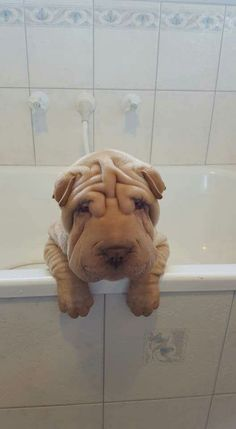 """Reminds me of """"Cuddles"""", our baby who's no longer with us. Thank you for sharing this beautiful pic! Shar Pei Puppies, Cute Puppies, Dogs And Puppies, Poodle Puppies, Animals And Pets, Baby Animals, Funny Animals, Cute Animals, Wrinkly Dog"""