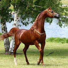 خيل Horse