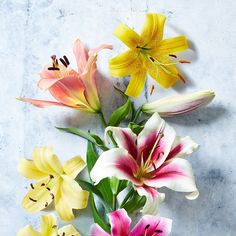 What Are Orienpet Lilies and Why You Need Them in You Garden Best Perennials, Hardy Perennials, Flowers Perennials, Shade Flowers, Lavender Flowers, Yellow Flowers, Perennial Geranium, Cranesbill Geranium, Flowering Shade Plants