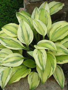 "A BIG wow to this variety of hosta: ""Captain's Adventure"" - would love to have this beauty in my garden someday soon...."