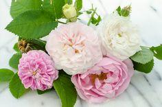 A collection of Alba Roses: Petite Lisette, Félicité Parmentier, Celestial, Mme Plantier