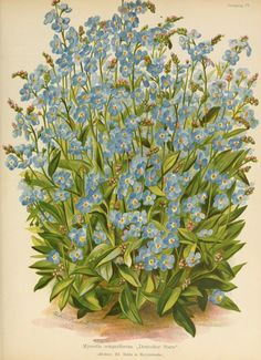 Myosotis semperflorens (Forget-me-not). Illustration from 'Die Gartenwelt' (1897).