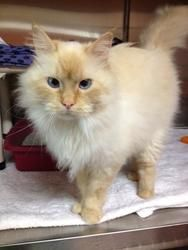 Adoptable Fridays: Meet Simon! Simon is an adoptable Siamese Cat in Jamestown, ND. Simon is a very handsome flame point Siamese who has medium/long hair and is about 3 years old. Find out more about Simon here! #pets #cats #animals #fcadopatblefridays