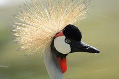Grey crowned crane, balearica regulorum (Etelän kruunukurki) in Selwo zoo, Spain.
