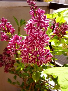 Μια πασχαλιά διαφορετική από τις άλλες - A syringa less ordinary Character Design, Home And Garden, Backyard, Nature, Plants, Diy, Lilacs, Beautiful, Olympia