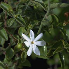 Jasminum breviflorum Creepers, Wild Flowers, Climbers, Garden, Plants, Nuthatches, Garten, Gardens, Planters