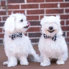 OH MY Goodness A-Rod! I can feel your happiness! Have a great weekend everybody… #maltese