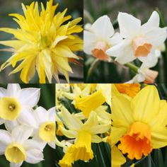 Dwarf Daffodils Daffodils Planting, Planting Bulbs, Tulips, Daffodil Bulbs, Bulb Flowers, Yellow Cups, Deciduous Trees, Dwarf, Garden Beds