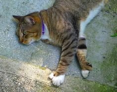 A six-toed 'Hemingway' cat at the Hemingway House in Key West