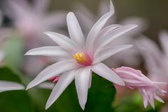 Spring star - Frühlingsstern