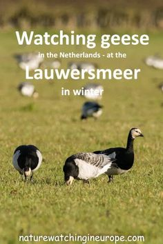 Tens of thousands of barnacle (and other) geese visit the Lauwersmeer in winter - a spectacle worth braving the cold for. Best Countries To Visit, Cool Countries, Geese Breeds, Perennial Grasses, Nature Reserve, Bird Watching, Travel Around The World, Netherlands, National Parks