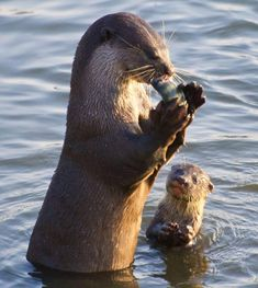 A baby otter watches its mother