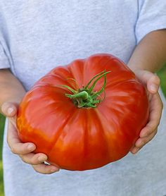 If you like bragging rights for growing the largest tomato, this SteakHouse Hybrid is a huge 3 pounds!