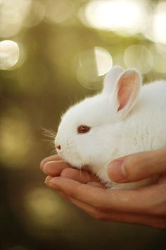 When you are looking for a furry friend which is not just adorable, but easy to keep, then look no further than a pet rabbit. Baby Bunnies, Cute Bunny, Bunny Rabbits, White Bunnies, Snow Bunnies, Easter Bunny, Beautiful Creatures, Animals Beautiful, Mundo Animal